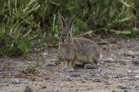 California Cotton Tail rabbit standing alert among the bushes as he forages for morning food.