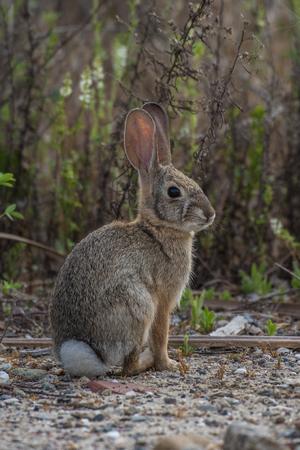 California Cotton Tail rabbit sitting back but alert among the bushes as he looks out for predators. Reklamní fotografie