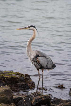 Great Blue Heron standing in perfect balance on marina cove rocks while hungry for next meal.