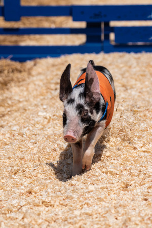 Fastest racing pig all alone on track while heading to the finish line. Stock Photo