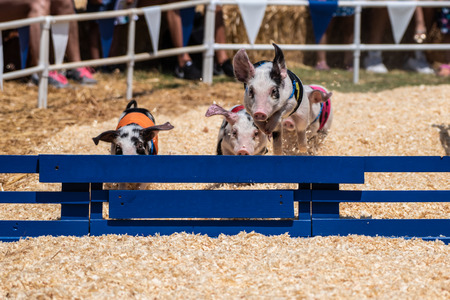 Quick and agile racing pigs jumping over hurdle as they speed toward the finish line. Stock Photo