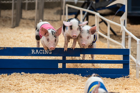 Three adorable pigs hurdling together over race track hurdle obstacle. Stock Photo