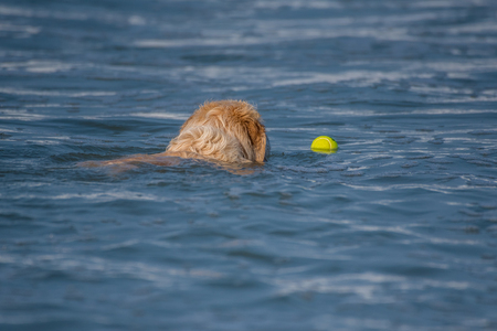 Experienced Golden Retriever swims out into ocean water to fetch floating tennis ball.