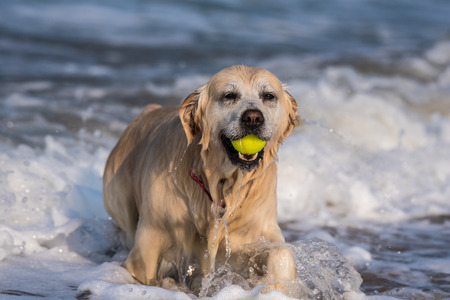 Dripping wet Golden Retriever emerging from shallow ocean water with fetched tennis ball firmly in mouth. Stock Photo
