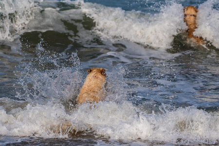 Pair of golden retrievers chasing each other out into the breaking waves of the California Ocean.
