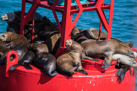 Stacks of sea lions and marine sun bathers resting on the small floating buoy.
