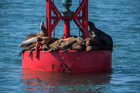 Sea lions squeezed into full capacity on the dry surface of the floating offshore buoy. Banco de Imagens