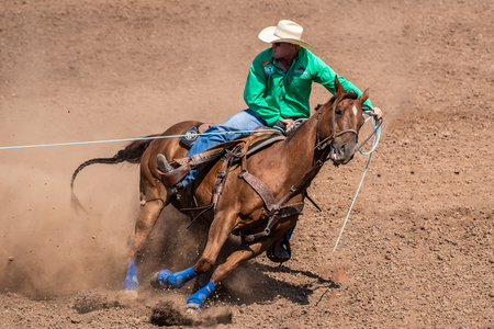 Cowboy and horse pull tension on rope during team cattle roping competition at the Ventura County Fair on August 12, 2018 in California. Editorial