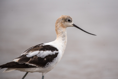 American Avocet marine bird looking out into the surf for food in close profile view..