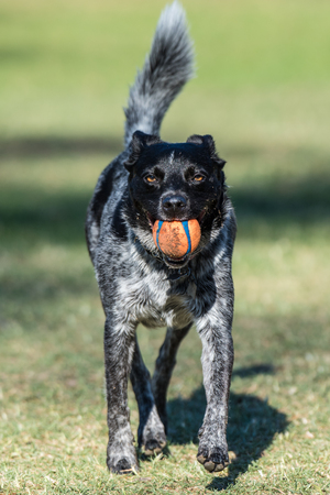 Enthusiastic Australian Shepard Heeler mixed breed dog has ears pulled down as he brings the ball back across the park grass.