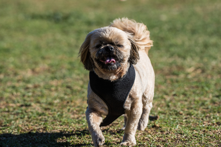 Poised and adorable little dog showing happy expression on face while walking across the park grass wearing a harness.