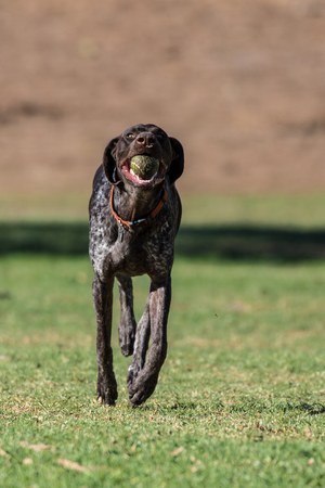 Geman short hair bird dog showing wide eyes while running at full speed retrieving the ball at the park.