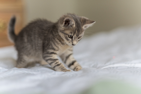Adorable and playful grey tabby kitten pouncing on the bed with furry paws.