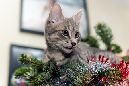 Silver and grey tabby kitten lying on top of Christmas tree licking his lips on his furry face.