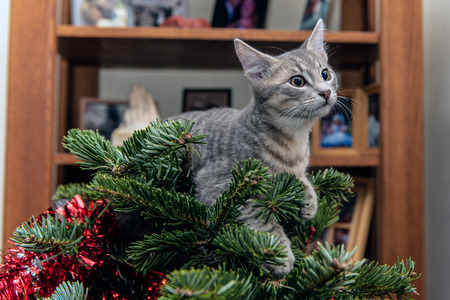 Silver and grey tabby kitten resting comfortably on top of Christmas tree. Stock Photo
