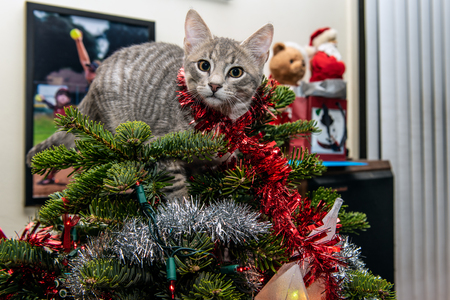 Silver and grey tabby kitten tangled in garland while climbing to top of Christmas tree.