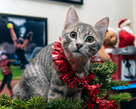 Silver and grey tabby kitten tangled in garland while climbing to top of Christmas tree has surprised look on furry face. Foto de archivo