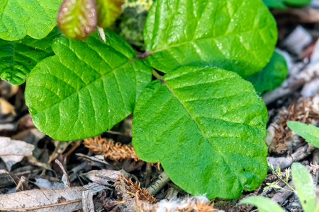 Spring season new growth of shrubs includes Pacific Poison Oak with three leaves of oily irritation.
