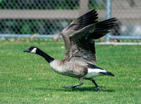 Goose building momentum to take off in flight by flapping his large wings and running across the grass.