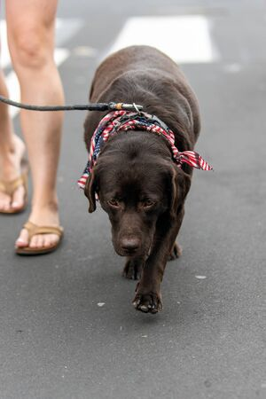 Patriotic and mature Labrador dog dressed in red white and blue bandana while celebrating 4th July holiday on city street.