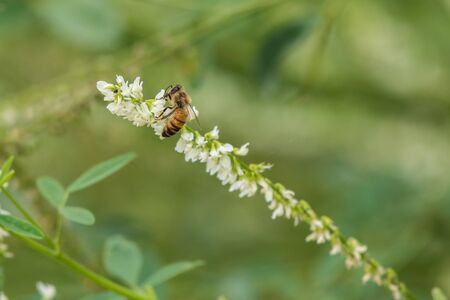 Honey Bee flies in to land on local flora while spreading pollen during the summer months.
