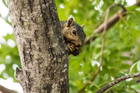 Ground Squirrel eating a nut from the safety of behind a tree trunk up high. Stock Photo