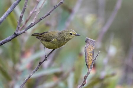 Cute and adorable Orange Crowned Warbler bird perched on one branch while stretching to reach food on another.