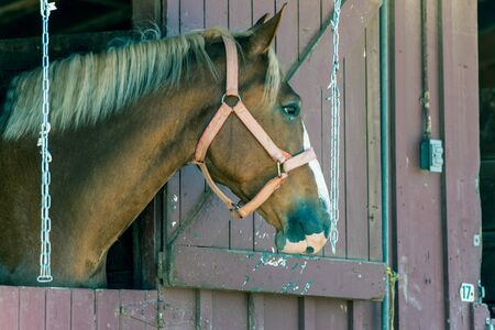 Head Chestnut horse has face looking with great interest out of the open stable door. Banco de Imagens