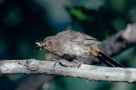 California Towhee bird biting down on cricket that was foraged for a morning meal. Banco de Imagens - 128582710