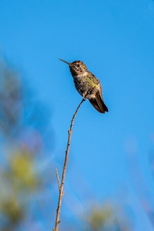 Adorable Rufous Hummingbird perched on the tip of high branch with blue sky in background.