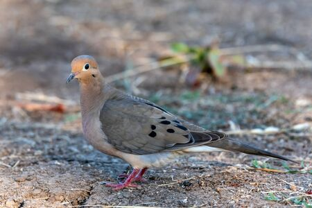 Mourning Dove bird keeping an alert eye out while crossing the hiking trail foraging for food.