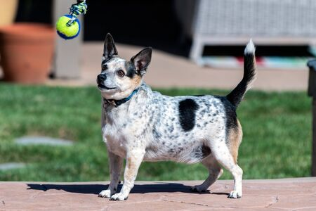 Jack Russel and Heeler mixed breed dog eagerly watches the ball dangling in front of him.