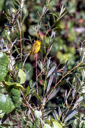 Yellow Warbler bird perched on a branch in morning hours while looking for food to survive.