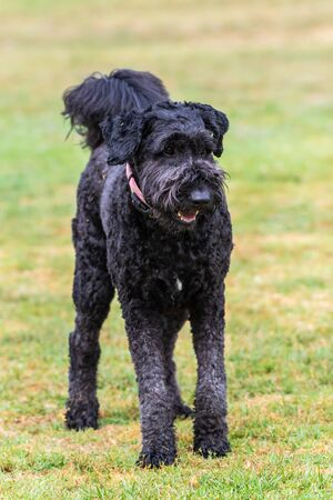 Black American Standard Poodle dog standing on grass at park with attention and eyes straight ahead.