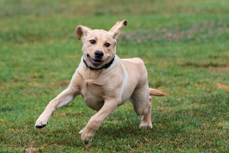 Excited Yellow Labrador puppy showing great enthusiasm while running full speed at dog park.