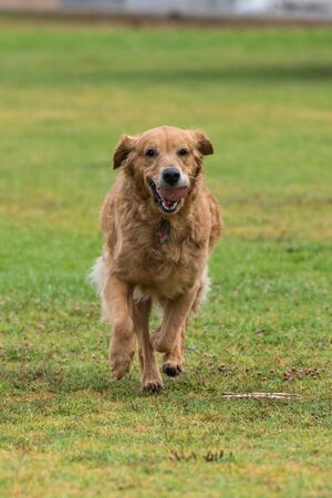 Golden Retriever dog jogging with ball in mouth with smile on face.