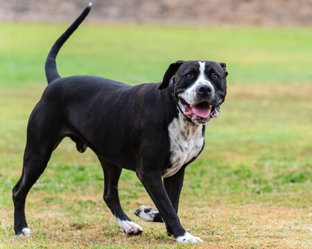 Mixed Breed Pit Bull dog standing alert in grass at park with attention and eyes straight ahead.