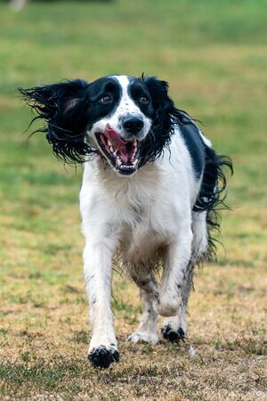 Brittnay Spaniel dog jogging across grass at park with open mouth and tongue hanging out.