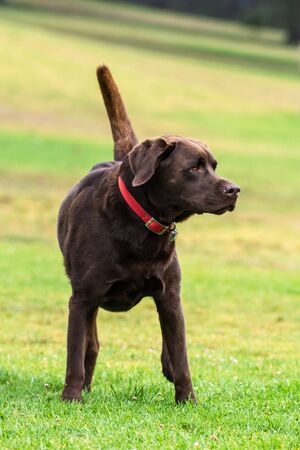 Chocolate Labrador dog standing alert in grass at park with attention and eyes to right. Stock Photo