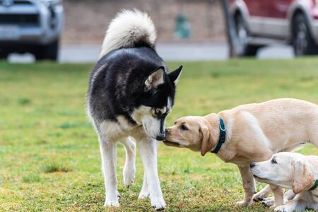 Siberian Husky being licked by yellow Labrador puppy during a first encounter meeting at dog park.