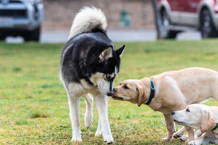 Siberian Husky wird während eines ersten Begegnungstreffens im Hundepark von einem gelben Labrador-Welpen geleckt.