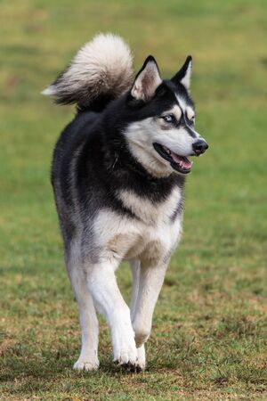 Siberian Husky dog jogging across grass at park with open mouth with attention off to the left.