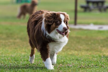 Australian Shepard dog jogging across grass at park with attention and eyes straight ahead. Stock Photo