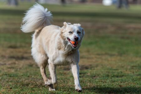 Tired Australian Shepard dog jogging with ball in mouth with smile on face.