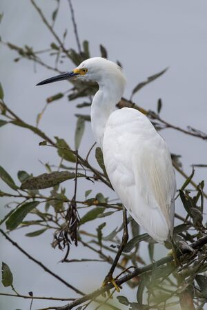 Snow White Egret stands alert and perched on the low branches of vegetation near the pond water shore. Imagens