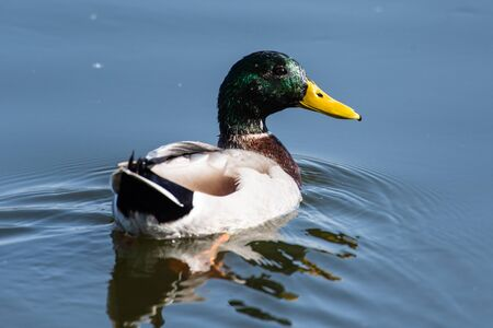 Male Mallard duck swims along the calm pond water surface with alert eyes looking for danger.