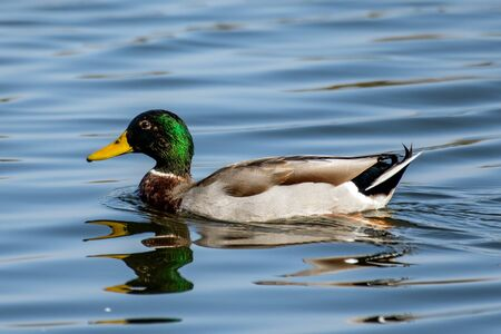 Male Mallard duck swims along the calm pond  surface along with obscurred reflection in the water.