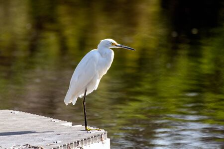 Snowy White Egret balances on one leg standing on industrial water filter at edge of settling pond in Ventura.