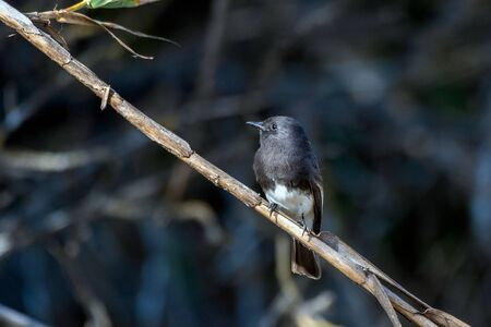 Cute Black Phoebe bird clings tightly to the vegetation perch while remaining alert to danger and looking to left. Imagens