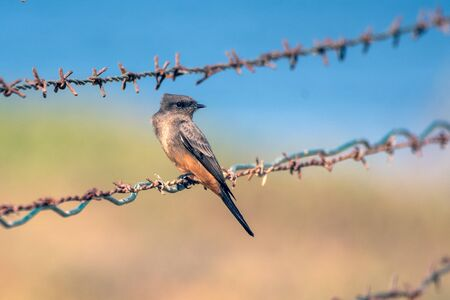 Cute Says Phoebe bird clinging to sharp barbed wire fencing while looking over shoulder to right.